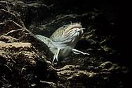 Burbot<br /> <br /> Viktor Vrbovsky/Engbretson Underwater Photography