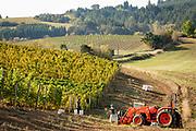 Saffron Fields chardonnay harvest vintage 2020, Yamhill - Carlton AVA, Willamette Valley, Oregon