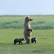 Alaskan Brown Bear, (Ursus middendorffi) Mother standing up with two young cubs. Katmai National Park. Alaska. June. Late Spring.