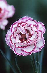 Dianthus 'Gran's Favourite'- Carnation, Pink