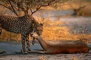 Cheetah (Acinonyx jubatus) with Impala kill,  Okavango Delta, Botswana