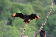 Black Vulture (Coragyps atratus) perched on dead branch, warming wings in morning sun, Iguazu, Argentina