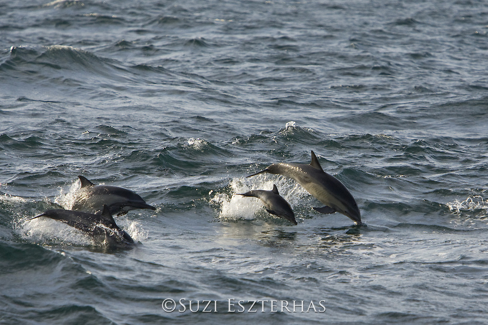 Long-beaked common dolphins <br /> Delphinus capensis<br /> Baja California, Mexico