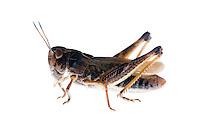 IFTE-NB-007250; Niall Benvie; Female Gomphocerippus sibiricus; grasshopper; Europe; Austria; Tirol; Fliesser Sonnenhänge; insect arthropod invertebrate; horizontal; high key; brown white; controlled; female; adult; one; moorland; 2008; July; summer; strobe backlight; Wild Wonders of Europe Naturpark Kaunergrat