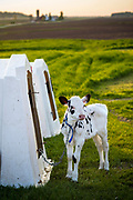 A calf waits to be bottle feed on a Wisconsin dairy farm.