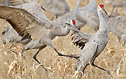 A sandhill crane (Grus canandesis) gets a mouthful of feathers while shooing away another sandhill feeding in a field in the Bosque del Apache National Wildlife Refuge, south of Socorro, New Mexico.  During the winter months, thousands of sandhills fill the refuge.