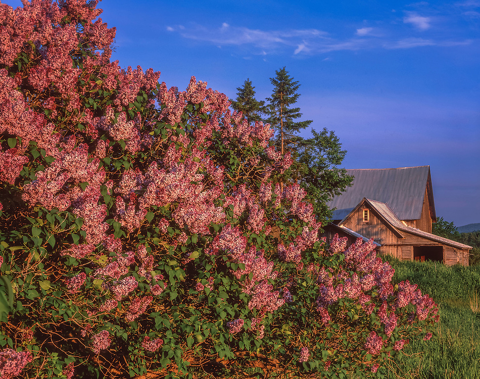 Late day light on purple lilacs & weathered barn in spring, Peacham, VT