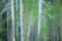 Taiga Pine forest, Pinus sylvestris.Kuhmo, Finland