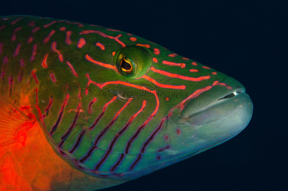 Linedcheeked Wrasse (Oxycheilinus digrammus)<br /> Rainbow Reef<br /> Fiji. South Pacific
