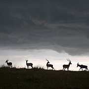 Impala's and a lone Topi pause beneath the clouds of an approaching storm on the Serengeti Plains in Masa Mara National Reserve, Kenya.