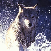 Gray Wolf, (Canis lupus) Running across shallow river.  Captive Animal.