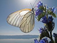 Black-veined White butterfly, Aporia crataegi, feeding on Viper's-Bugloss, Echium vulgare. <br /> Lagadin region. Lake Ohrid (693m).<br /> Galicica National Park, Macedonia, June 2009<br /> Mission: Macedonia, Lake Macro Prespa /  Lake Ohrid, Transnational Park<br /> David Maitland / Wild Wonders of Europe