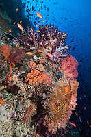 Reef Wall with Soft Corals and Reef Fish..Shot In Indonesia