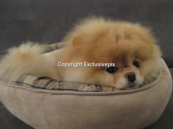 Is this the cutest dog in the world? Boo the Pomeranian has millions of fans and his own book<br /> <br /> <br /> He has nearly two million fans and a book deal.<br /> But Boo isn't a reality TV star, actor or a pop singer - he's a pet dog.<br /> The five-year-old Pomeranian has the fame most celebrities dream of after amassing 1.79million fans on social networking site Facebook.<br /> His owner, who has concealed her identity and location in the U.S. and uses the pseudonym J.H Lee told Time:'My friends loved looking at pictures of him. <br /> 'We started the first Facebook page as a joke.'<br /> Boo shot to fame when he realised the key to looking so good in photographs is a great haircut.<br /> The canine's unique look is down to an happy accident - his long hair was so knotted, it had to be shaved off.<br /> Lee said: 'The groomer said they wouldn't even be able to get a brush through him.<br /> 'I was really upset when I heard that. But when I picked him up, I found he was actually really cute that way.'<br /> Boo has been busy promoting his new book, a collection of photographs entitled 'Boo, the life of the world's cutest dog.'<br /> The £8.99 book features exclusive photographs of Boo 'doing all his favorite things, lounging around, playing with friends, exploring the whole wide world, and making those famous puppy-dog eyes.'<br /> And judging by his success so far, it's sure to be a bestseller<br /> ©Boo/Exclusivepix