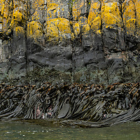 Yellow lichen and bull kelp cover the rocky shoreline. Exploration at Hercules Bay on the north coast of South Georgia Island.