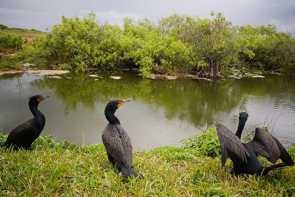Double-crested cormorants (Phalacrocorax auritus) on the shore of a small pond along the Anhinga Trail in Everglades National Park, Florida.