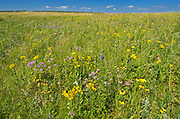 WIldflowers in Fescue prairie<br />Riding Mountain National Park<br />Manitoba<br />Canada