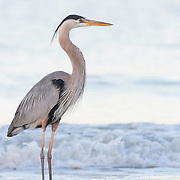 Great blue heron, Ardea herodias, in breeding plumage wades through early morning surf in Gulf of Mexico, adjacent to Little Estero Critical Wildlife Area, southwest Florida.