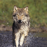 Gray Wolf adult running across the shallows of a river during the fall. Captive Animal