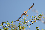 Common kestrel (Falco tinnunculus) in flight. This bird of prey is a member of the falcon (Falconidae) family. It is widespread in Europe, Asia, and Africa, and is sometimes found on the east coast of North America. Photographed in Israel in December.
