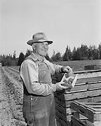 Y-550522.  Strawberry grower, Beaverton. May 22, 1955