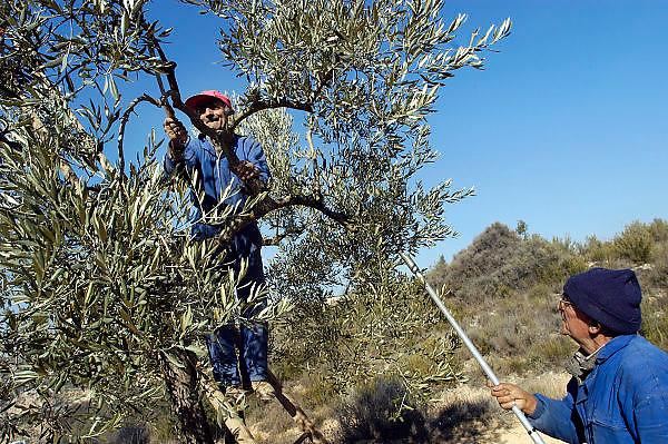 Spanje, Aragon, 10-2-2005..Een boer snoeit een olijfboom in de arme streek Aragon. Door de weinige neerslag, droogte, was de oogst dit jaar niet goed.De streek, regio leidt aan leegloop en voelt zich vergeten door het bestuur in Madrid. Landbouw, olijfolie, olijven...Foto: Flip Franssen/Hollandse Hoogte