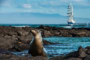 Galapagos Sealion (Zalophus wollebaeki) & SS Mary Ann<br /> Fernandina Island<br /> GALAPAGOS ISLANDS<br /> ECUADOR.  South America