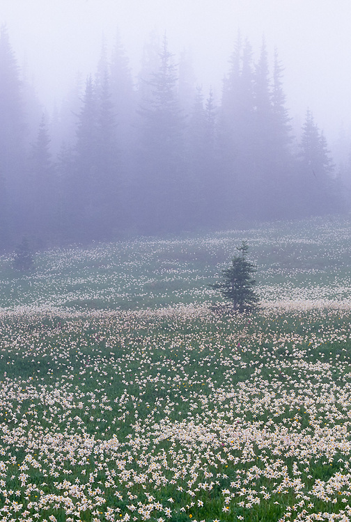 Meadow of avalanche lilies,Obstruction Point area, summer, Olympic National Park, Washington, USA