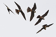 Hobby (Falco subbuteo) in flight. Surrey, UK.