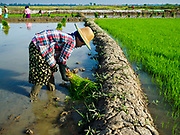 "21 NOVEMBER 2017 - MAUBIN, AYEYARWADY REGION, MYANMAR: A worker plants baby rice in a paddy in the Ayeyarwady  Delta. Myanmar is the world's sixth largest rice producer and more than half of Myanmar's arable land is used for rice cultivation. The Ayeyarwady Delta is the most important rice growing region and is sometimes called ""Myanmar's Granary."" The UN Food and Agriculture Organization (FAO) is predicting that the 2017 harvest will increase over 2016 and that exports will surge to 1.8 million tonnes.   PHOTO BY JACK KURTZ"