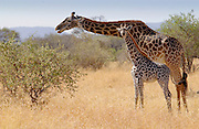 Adult giraffe and calf feeding in Grumeti, Tanzania