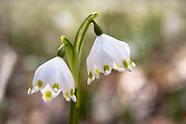 Maerzenbecher :: Spring Snowflake