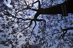 May 4, 2017 - Kathmandu, NP, Nepal - Jacaranda flowers Trees Blooming on the different parts of Kathmandu City, welcoming spring season in Nepal on Thursday, May 04, 2017. (Credit Image: © Narayan Maharjan/NurPhoto via ZUMA Press)