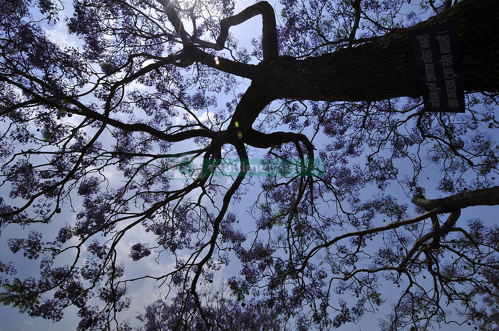 May 4, 2017 - Kathmandu, NP, Nepal - Jacaranda flowers Trees Blooming on the different parts of Kathmandu City, welcoming spring season in Nepal on Thursday, May 04, 2017. (Credit Image: © Narayan Maharjan/NurPhoto via ZUMA Press)