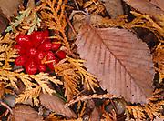 Scarlet fruits of jack-in-the-Pulpit, Arisaema tryphyllum., forest floor, Cedar Bog, a nature preserve near Urbana, Ohio.