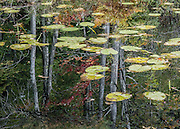 Two worlds: trees reflect on water surface with lily pads. Cadillac Heritage Nature Study Area, William Mitchell State Park, Cadillac, Michigan, USA. Walk the pleasant 2.5-mile Heritage Nature Trail on boardwalks and packed limestone starting from Carl T. Johnson Hunting and Fishing Center, through old-growth hardwood forest then around an old dike system which retains rich wetlands.