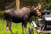 A Bull Moose chews on the seat of a lawn tractor on the edge of a forest in Homer, Alaska. A northern sea otter floats along on Kamishak Bay at the City of Homer Port & Harbor marina in Homer, Alaska.