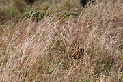 A lion cub, Panthera leo, hiding in tall grass.