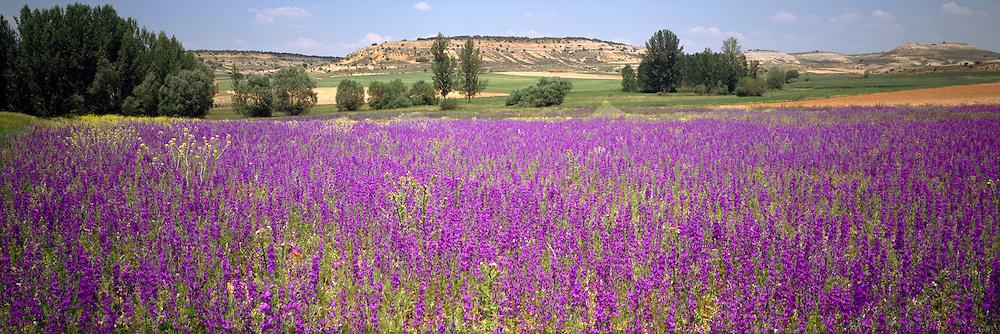 SPAIN, CASTILE-LEON Field of wildflowers near Soria