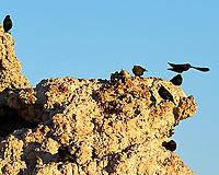 Brewer's Blackbird (Euphagus cyanocephalus), Red-winged Blackbird (Agelaius phoeniceus). Mono Lake, California. Image taken with a Nikon D700 camera and 80-400 mm VR lens.