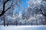 Snow dusted apple orchard and pines, Yosemite Valley, Yosemite National Park, California USA