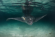 leatherback sea turtle, Dermochelys coriacea ( Critically Endangered species ), with scarring around right flipper base, almost certainly from entanglement in fishing gear, Parque Nacional Jaragua, Dominican Republic ( Caribbean Sea )