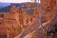 Aspen tree in fall, Bryce Canyon National Park, UTAH