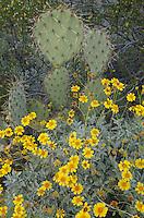 Engelmann prickly pear cactus (Opuntia engelmannii) and Brittlebush (Encelia farinosa), Organ Pipe Cactus National Monument Arizona