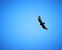 Turkey Vulture in flight. Devils Tower National Monument. Image taken with a Nikon D3 camera and 80-400 mm VR lens.