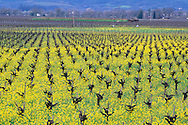 Barren grape vines in field of mustard in spring, Silverado Trail, Napa County, CALIFORNIA