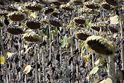 field with ripening sunflowers