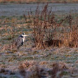 """Garça-moura-europeia (Ardea cinerea) fotografado na Alemanha, na Unição Européia - Europa. Registro feito em 2016.<br /> ⠀<br /> <br /> ENGLISH: Gray Heron photographed in Germany, in European Union - Europe. Picture made in 2016."""