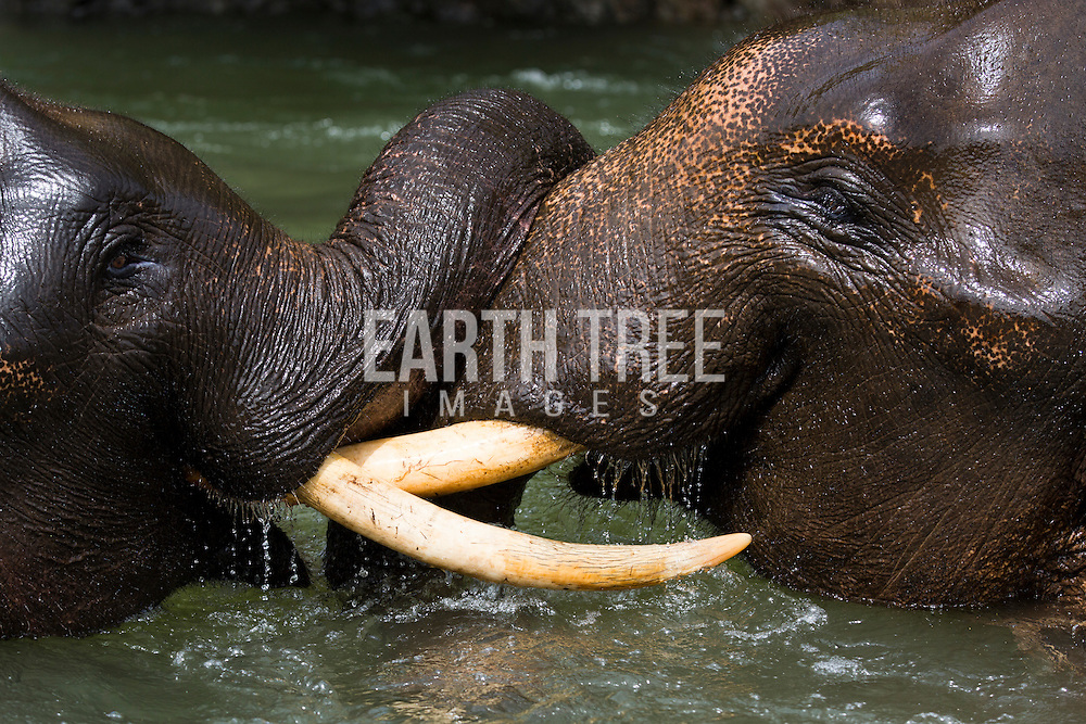 Sumatran Elephant is a sub-species of Asian elephant, found exclusively in Sumatra.<br /> <br /> Listed as critically endangered by IUCN, the population is decreasing over 80% over the last three generations. Habitat loss and poaching are the main threats.<br /> <br /> As a keystone species, elephants have a critical role on the ecosystem. The absence of elephants will definitely change the balance of the ecosystem.