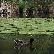 Anatra sul Lago di Segrino...Duck on Segrino Lake